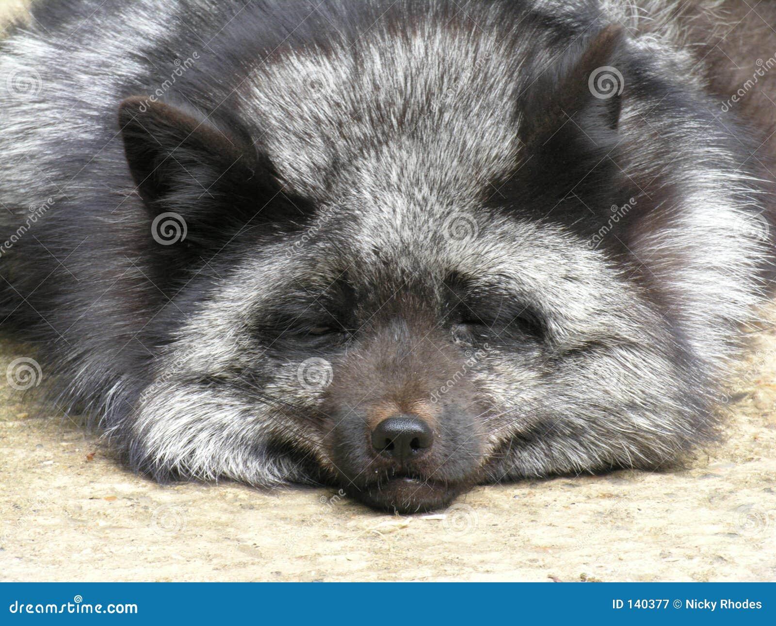 Silberner Fox