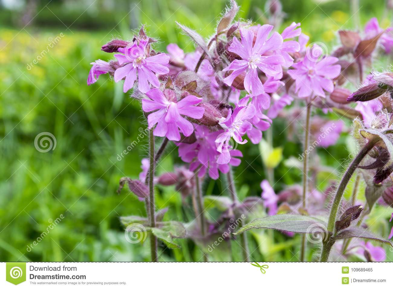 Silene Dioica Meadows Pink Flower In Bloom Stock Image Image Of