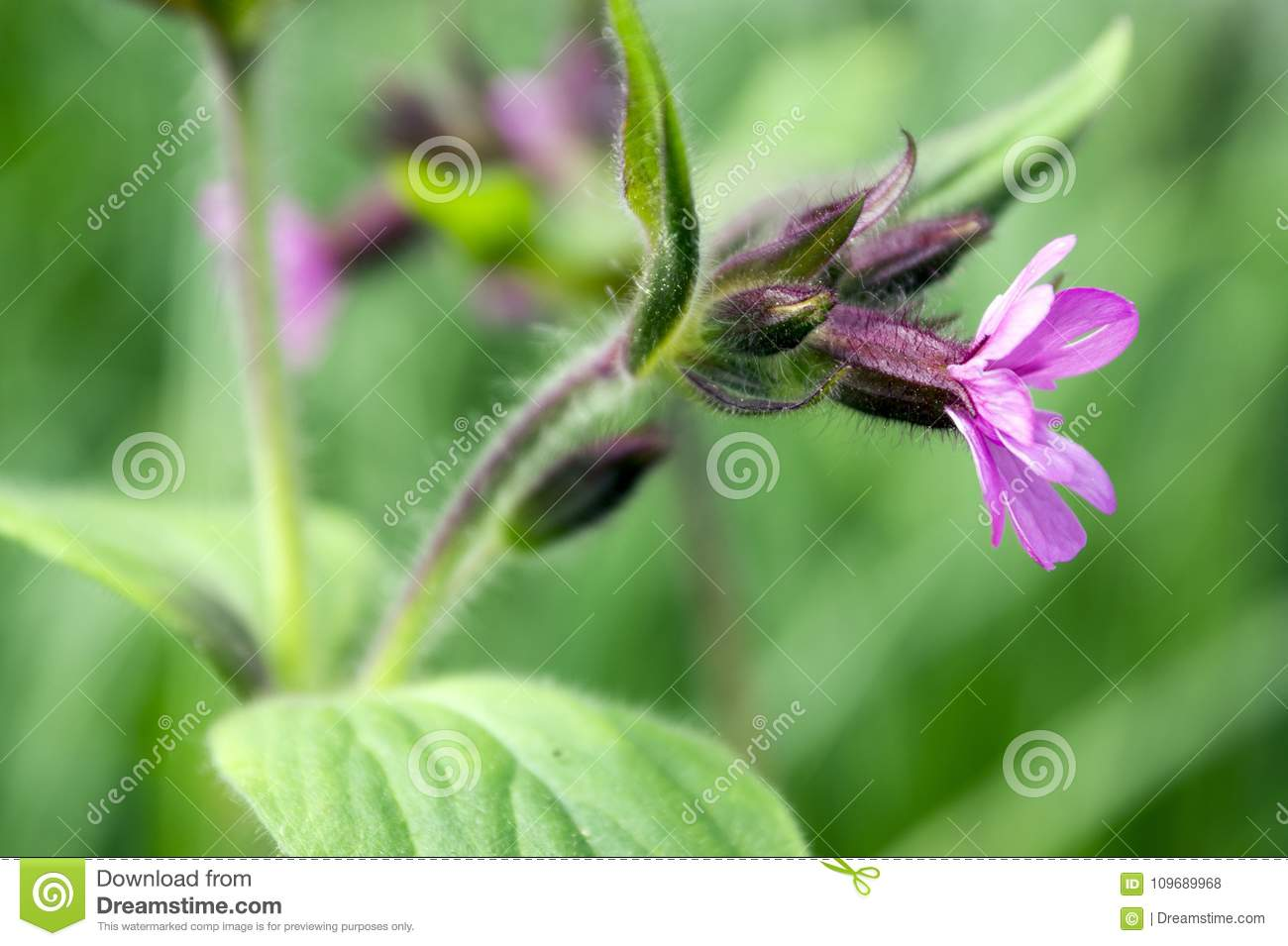 Silene Dioica Meadows Pink Flower In Bloom Stock Photo Image Of