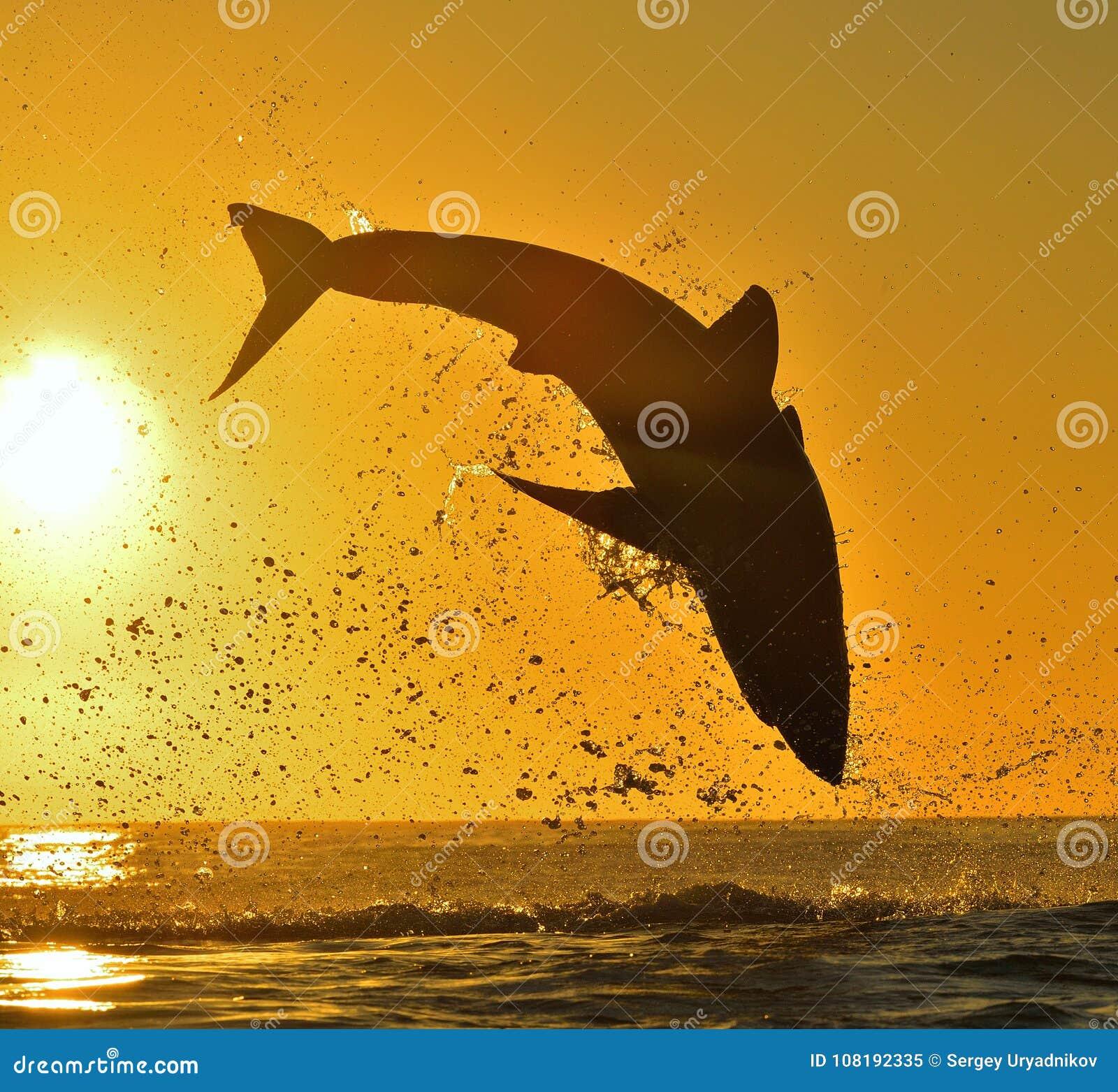 Silhouet van het springen Grote Witte Haai op achtergrond van de zonsopgang de rode hemel
