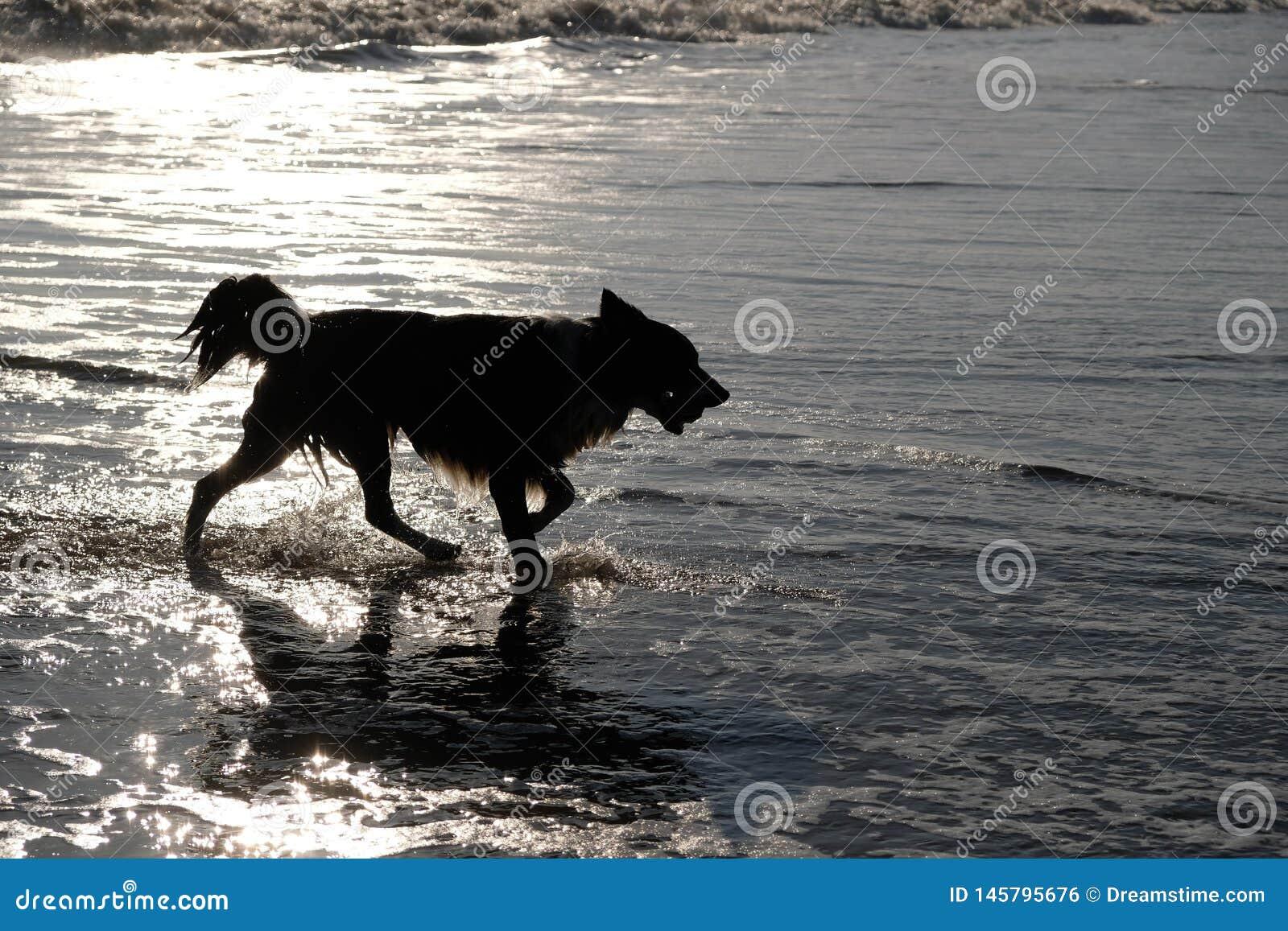 Silhouet van hond in het overzees