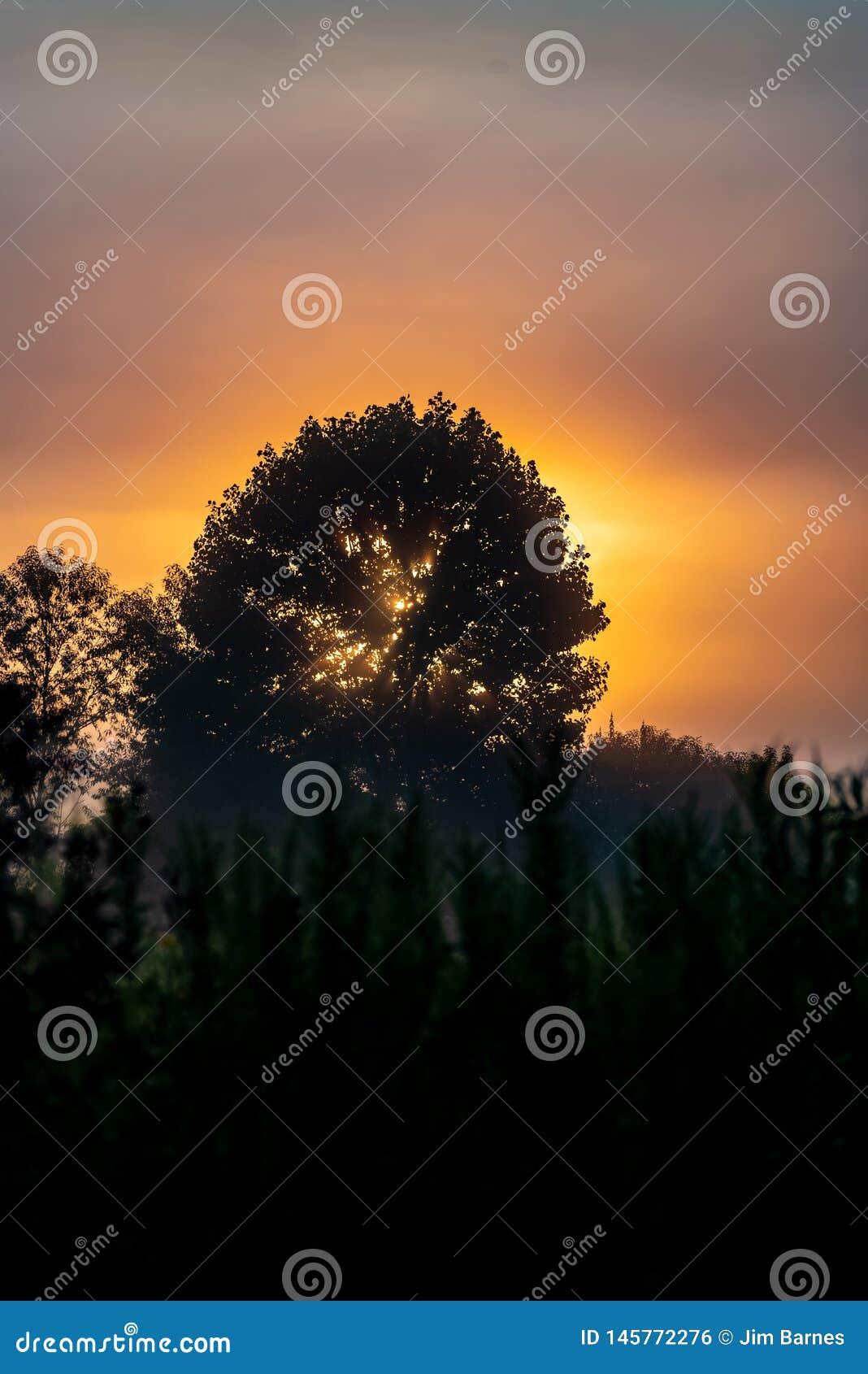 Silhouet van lange bomen op een gele zonsopgang