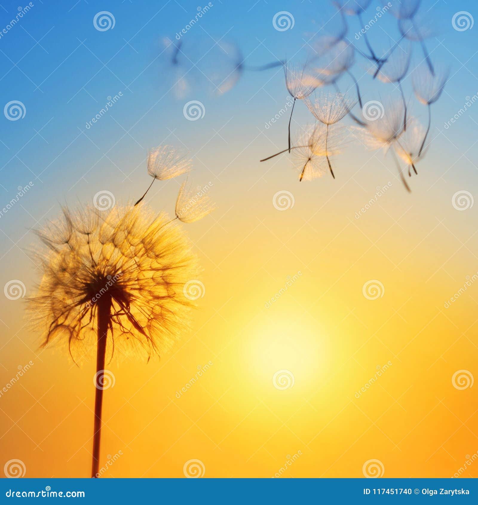 Silhouet van paardebloem tegen de achtergrond van de het plaatsen zon