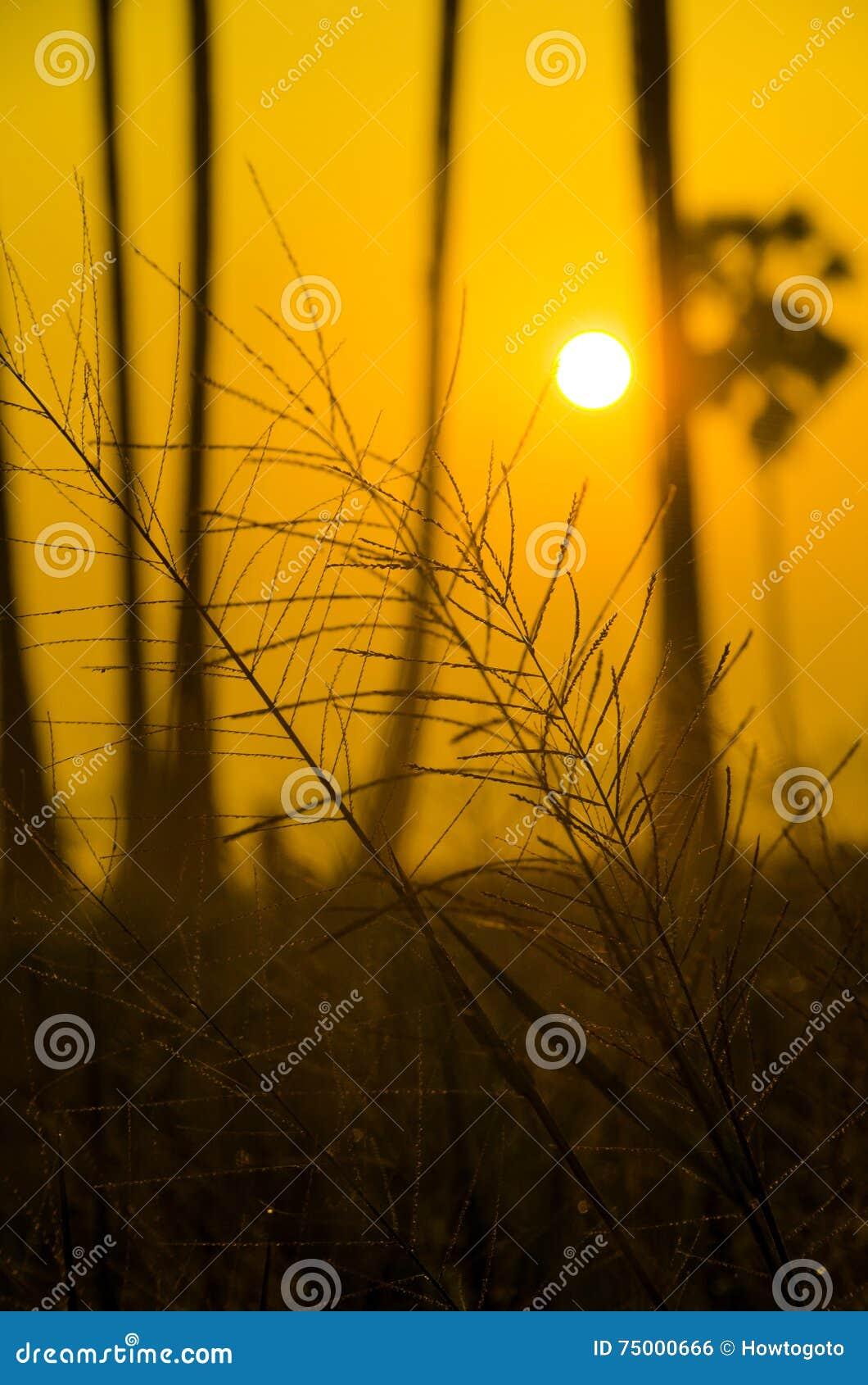 Silhouetgras die de zonsondergang met een gouden hemel naderen