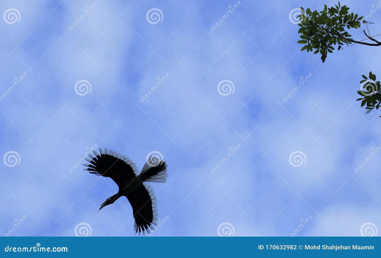 Animals Wildlife Stock Photo Image Of Rhinoceros Hornbill 170632982