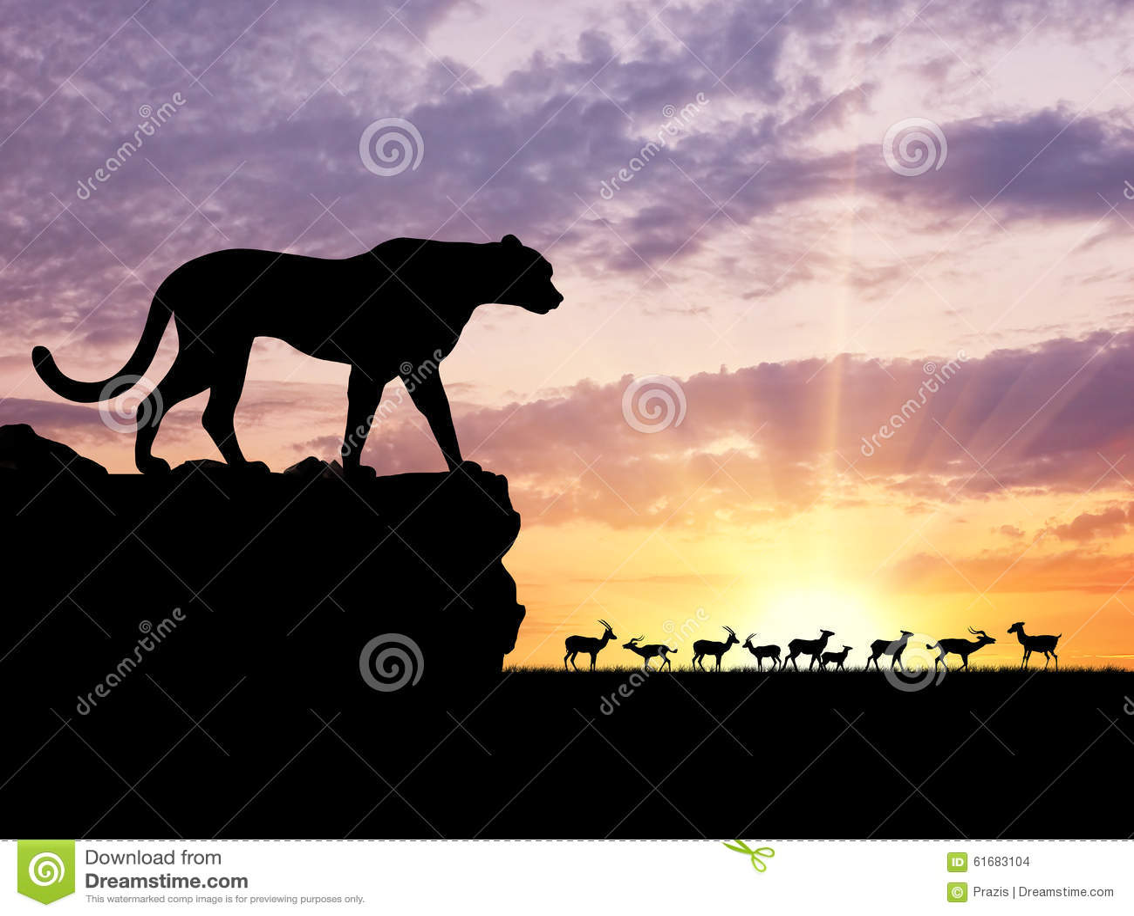 Cheetah hunting a thomson gazelle stock image image of.