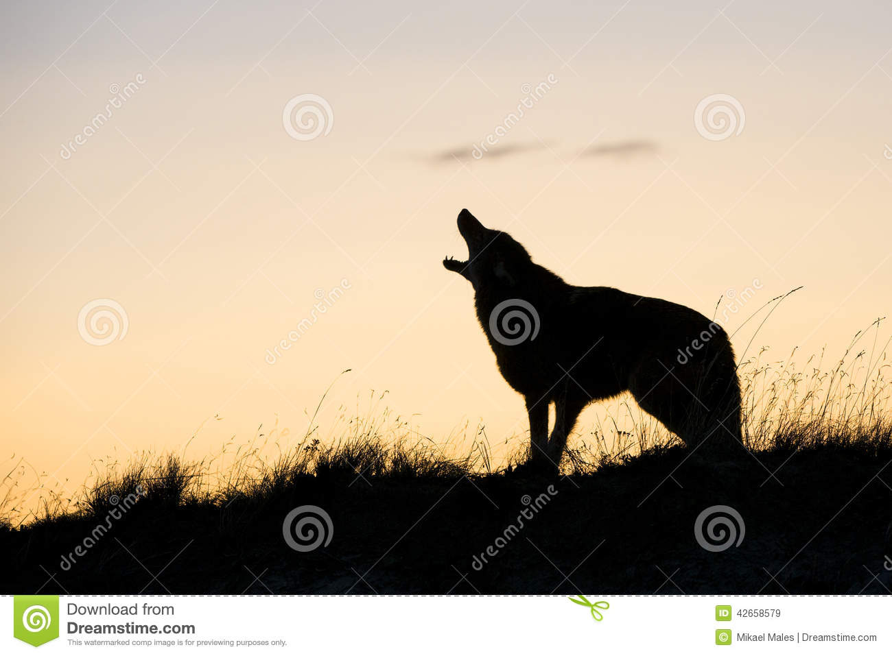 Silhouette of coyote howling at sunrise