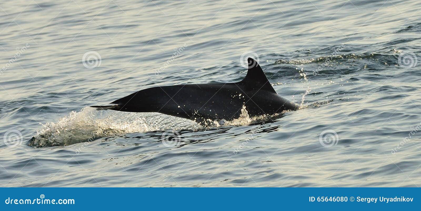 Silhouette d un aileron arrière d un dauphin, nageant dans l océan
