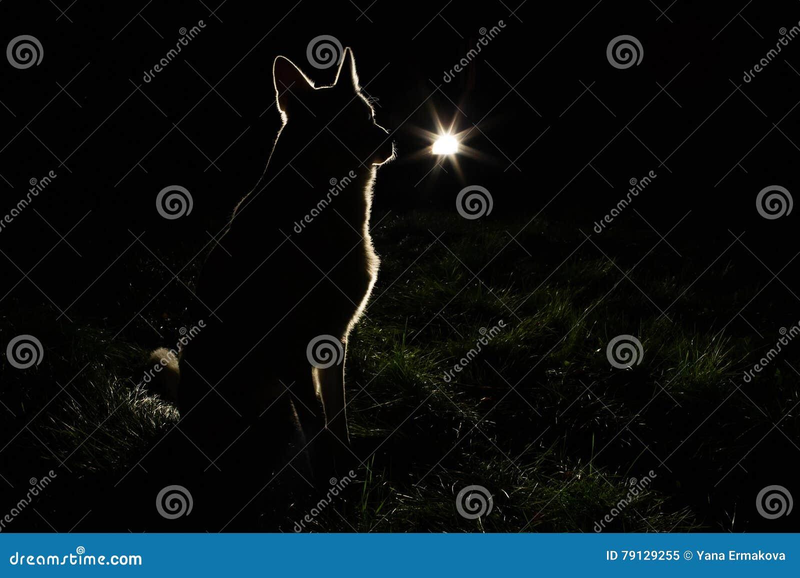 Silhouette de chien dans les phares