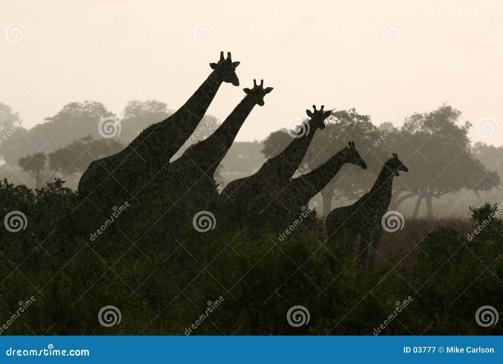 Silhouette de giraffe