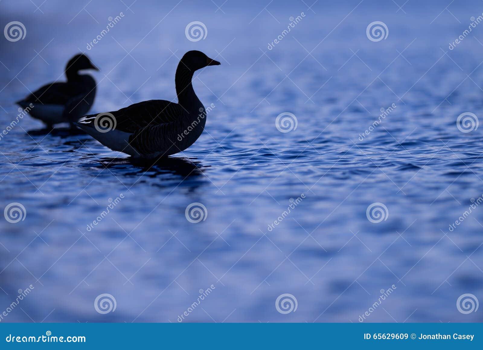 Silhouette des oies sur l eau bleue