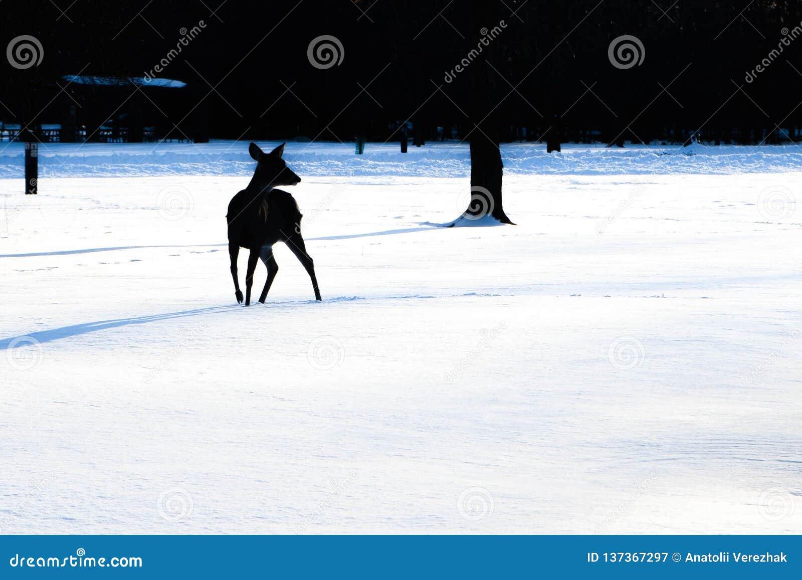 Silhouette des promenades de cerfs communs dans la forêt neigeuse