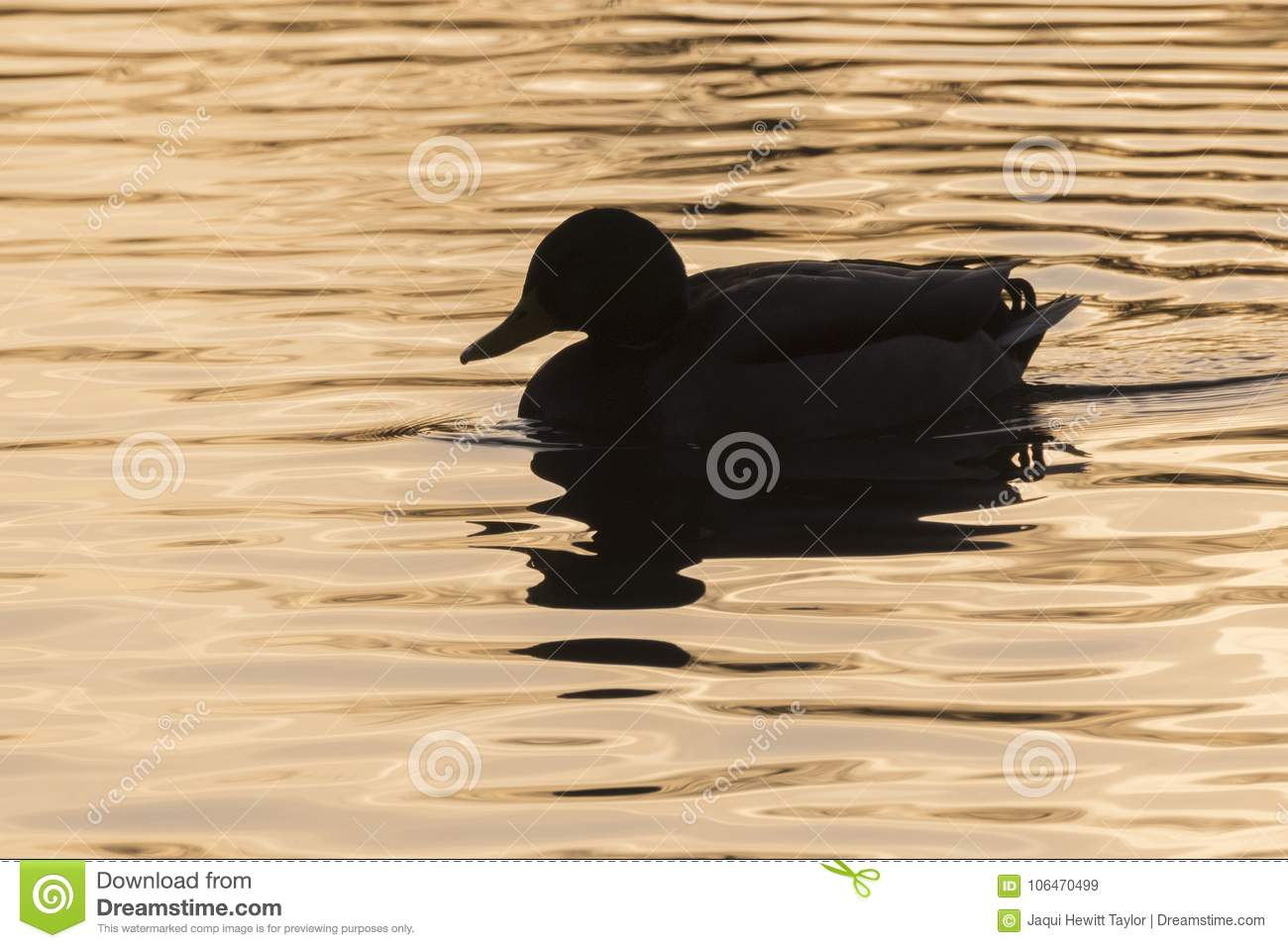 A silhouette of a duck on the Ornamental Pond, Southampton Common