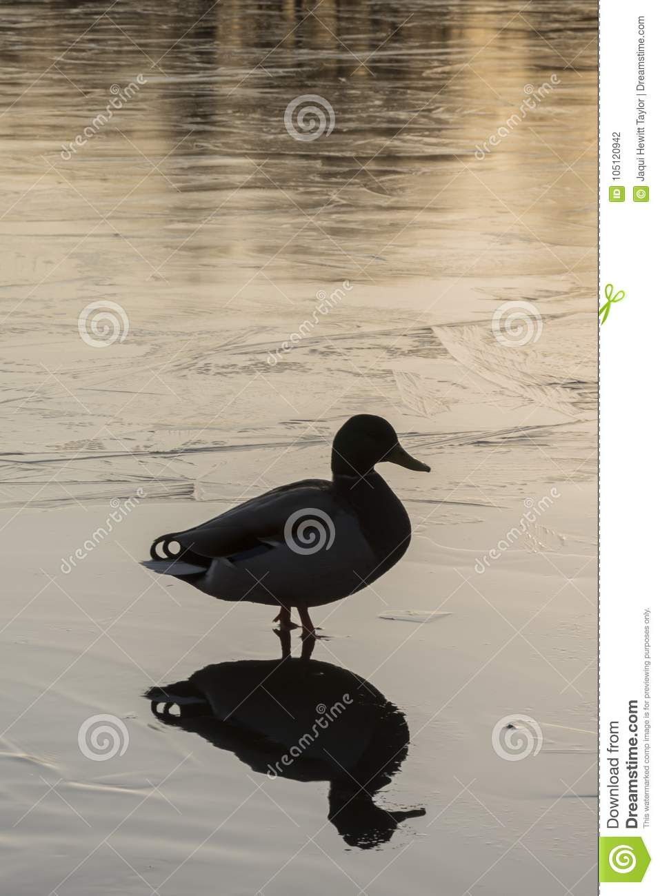 The silhouette of a mallard duck standing on the ice : Southampton Common