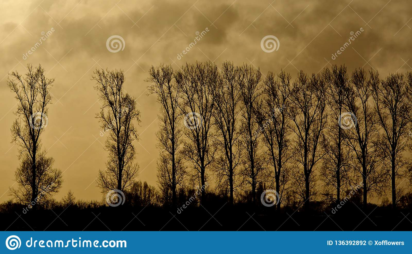 Silhouette of row of Elm trees against a cloudy yellow evening sky