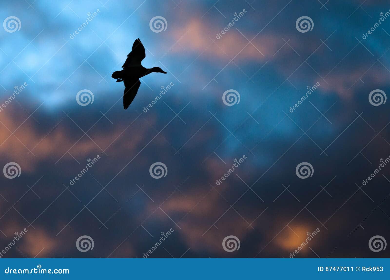 Silhouetted летание утки в небе захода солнца