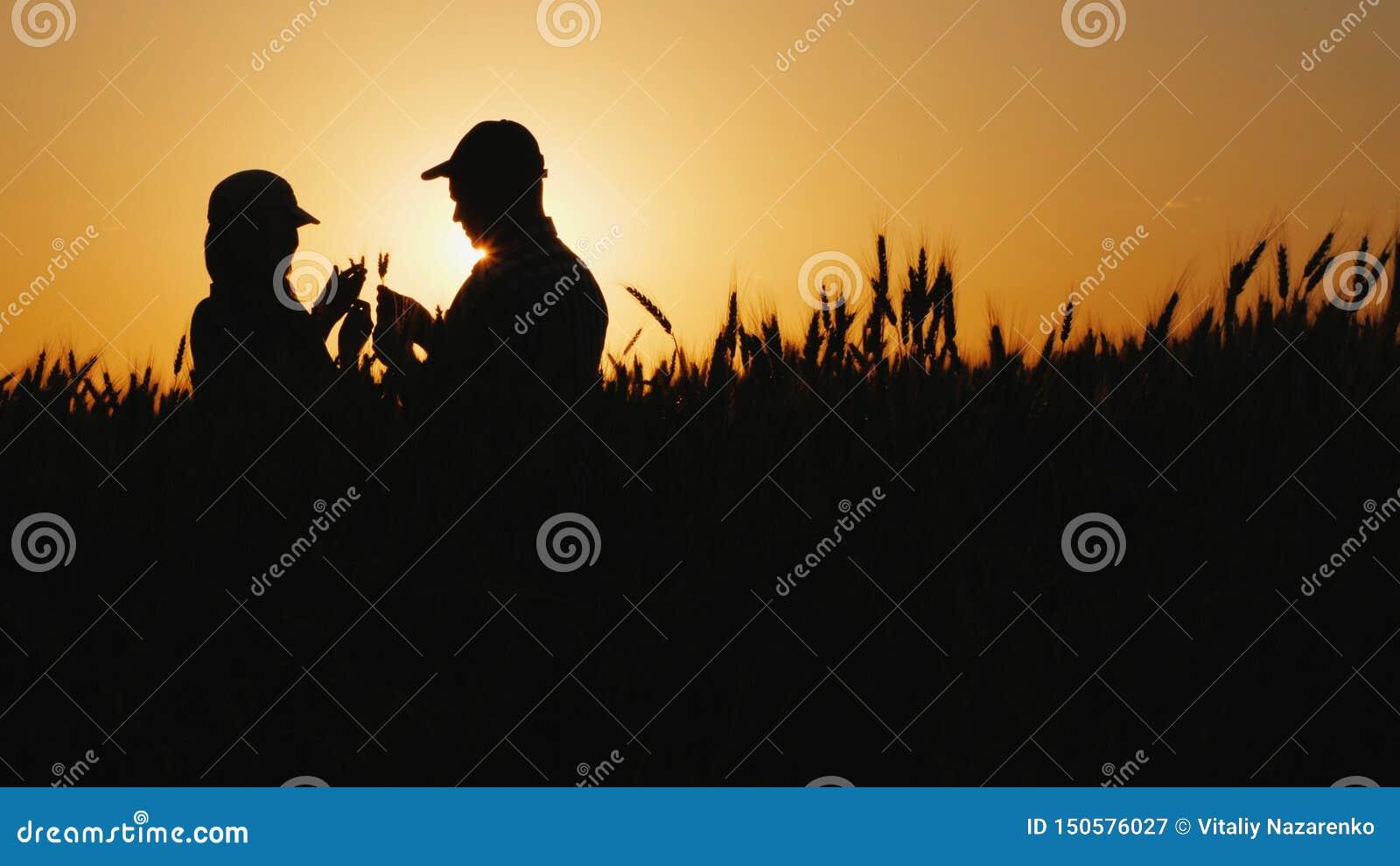 Silhouetten van twee landbouwers op een tarwegebied die korenaren bekijken