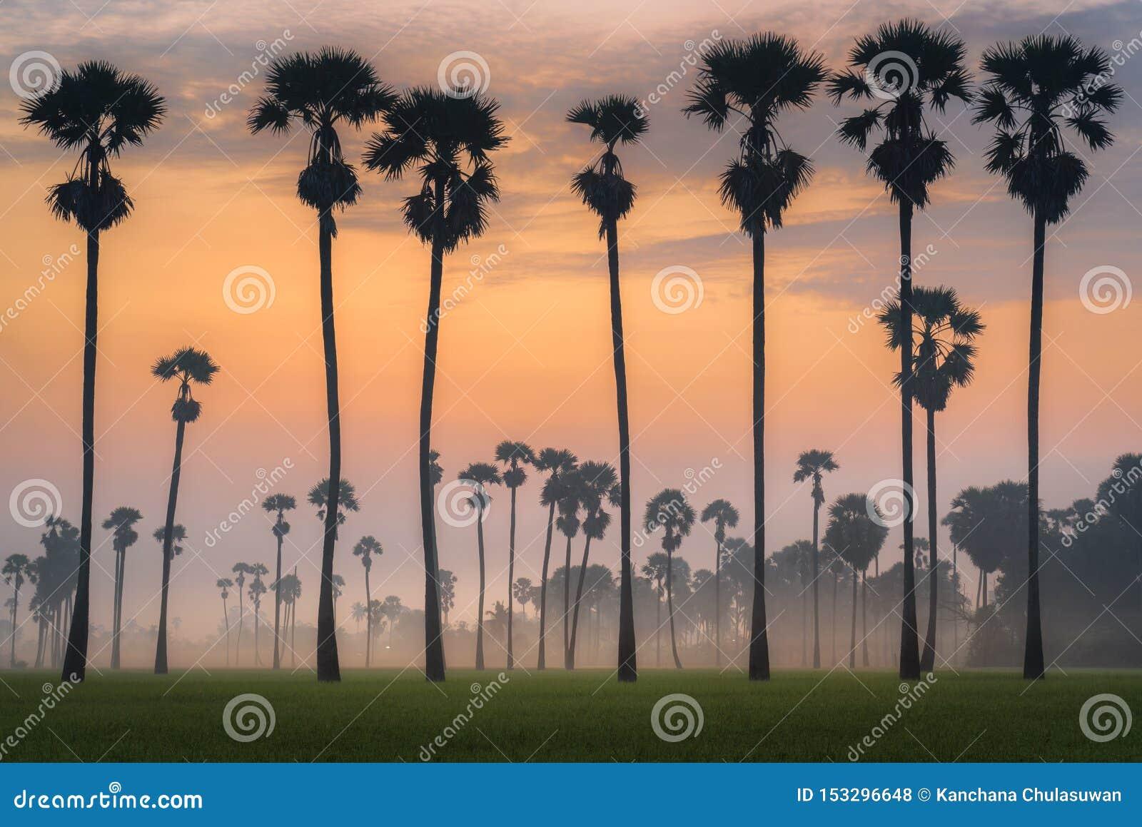 Silhueta da palma de palmyra