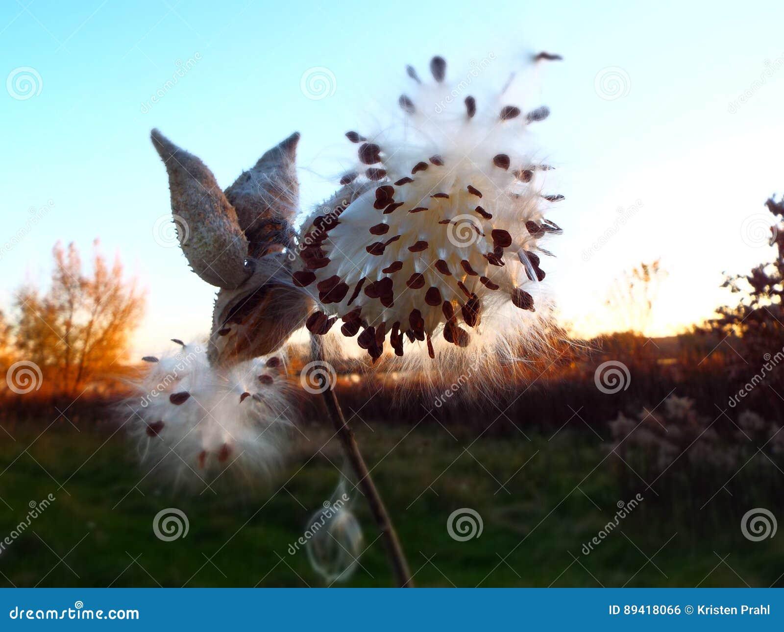 Silhueta da vagem e das sementes do milkweed na hora dourada