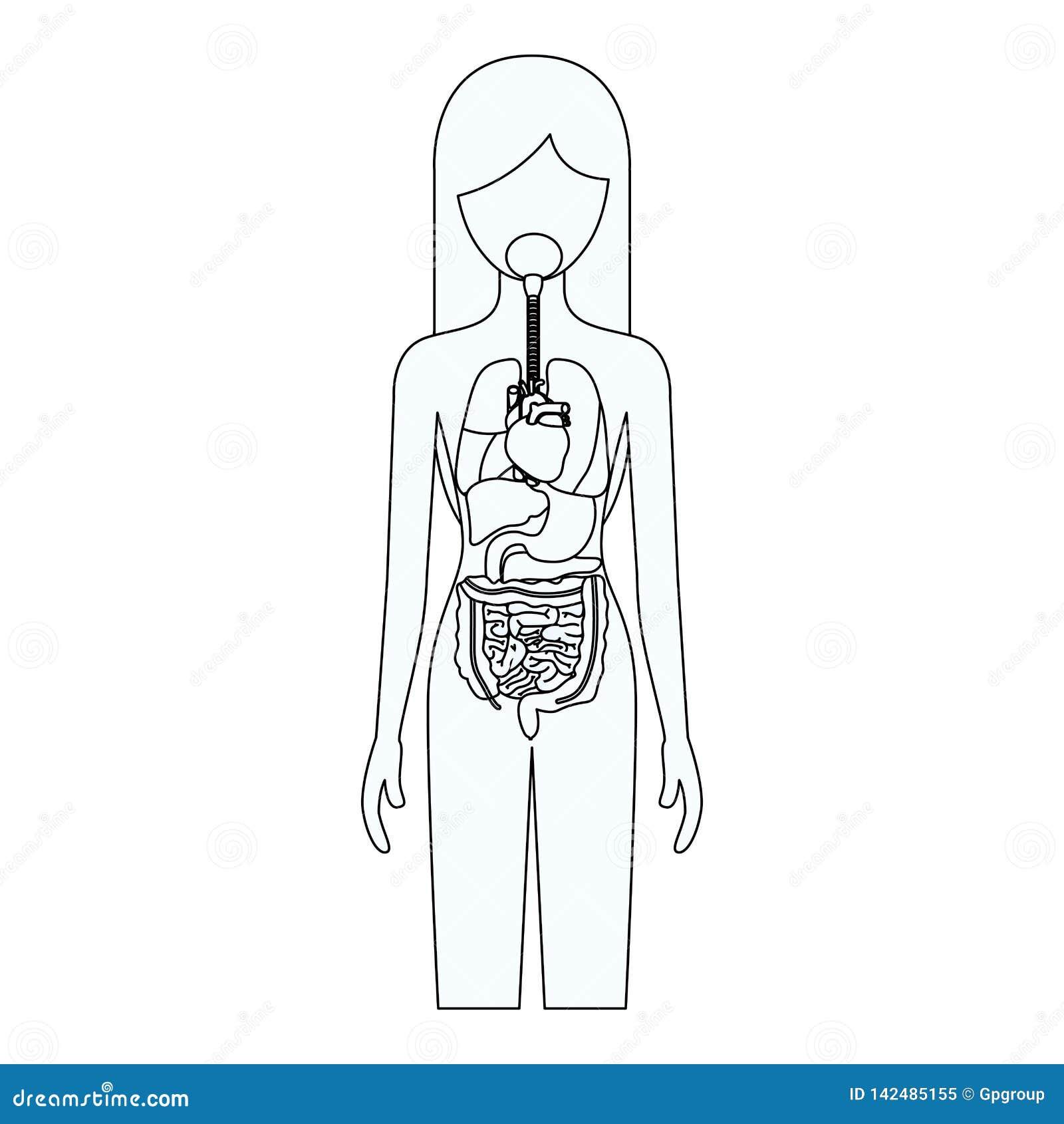 Silhueta do esboço da pessoa fêmea com sistema dos órgãos internos de corpo humano