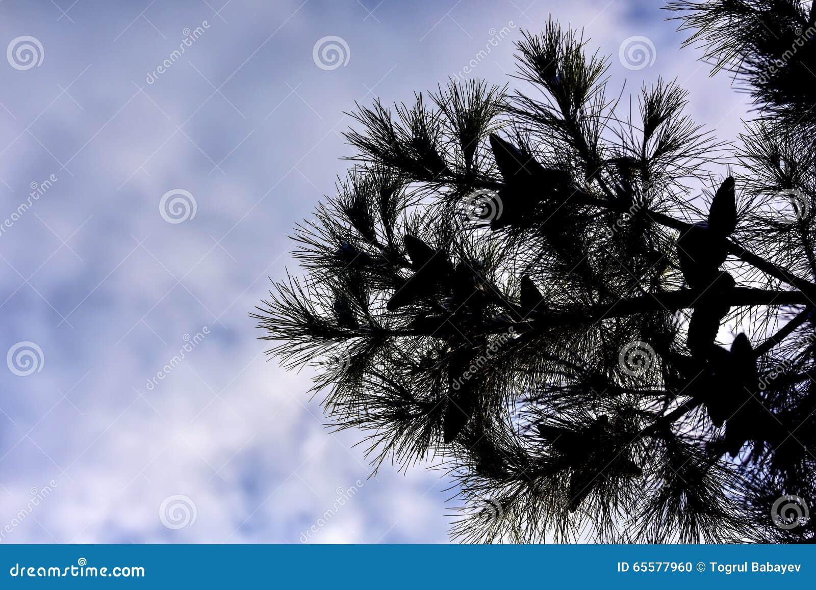 Silhueta do pinheiro no fundo do céu