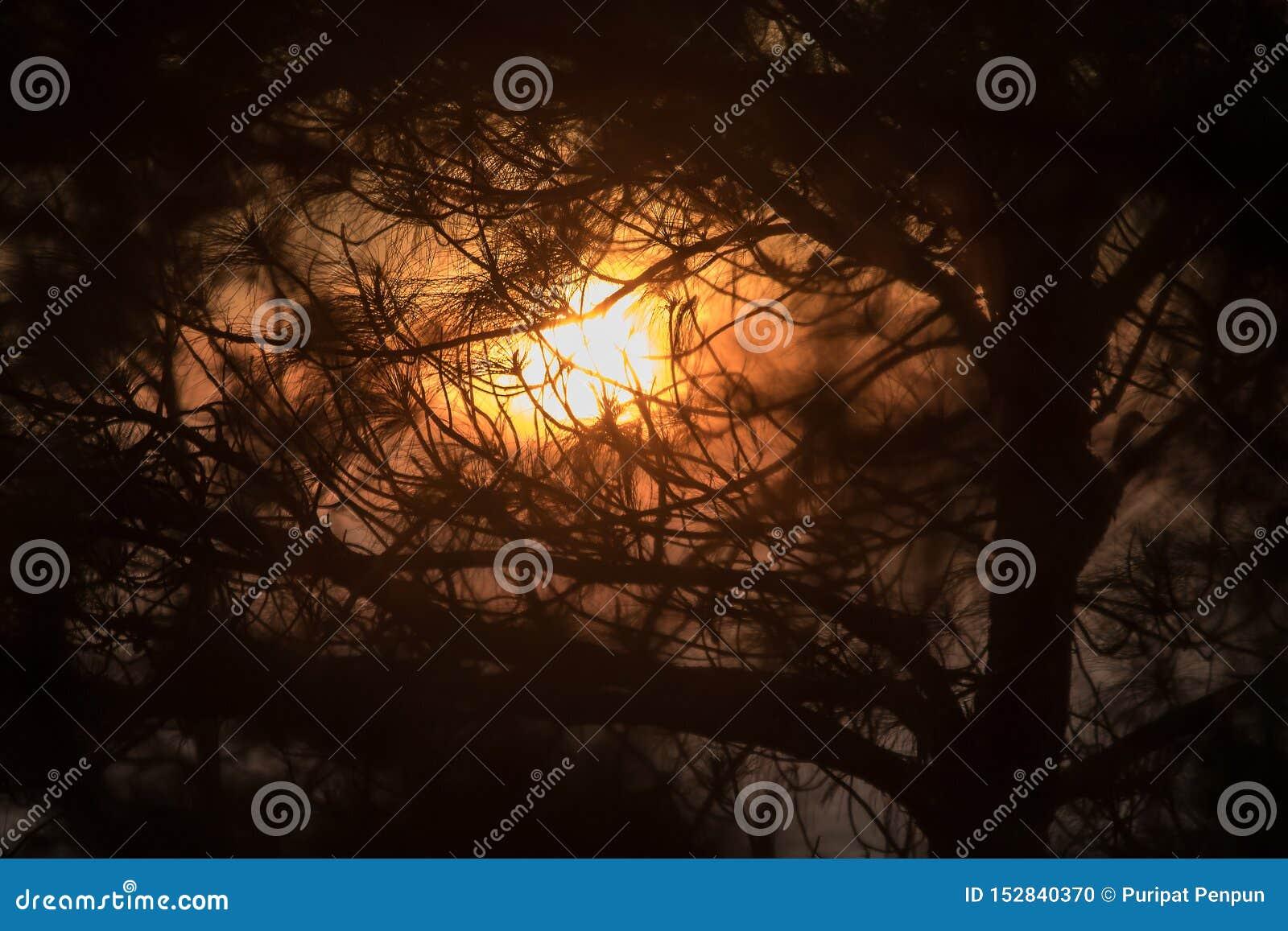A silhueta do ramo de pinheiro