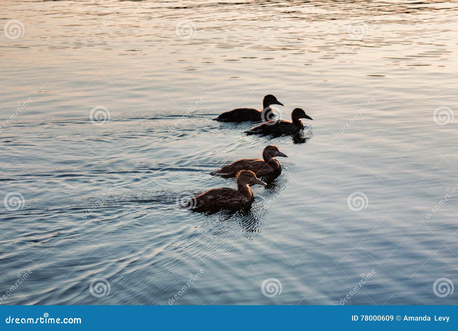 Silhueta dos patos em seguido na água