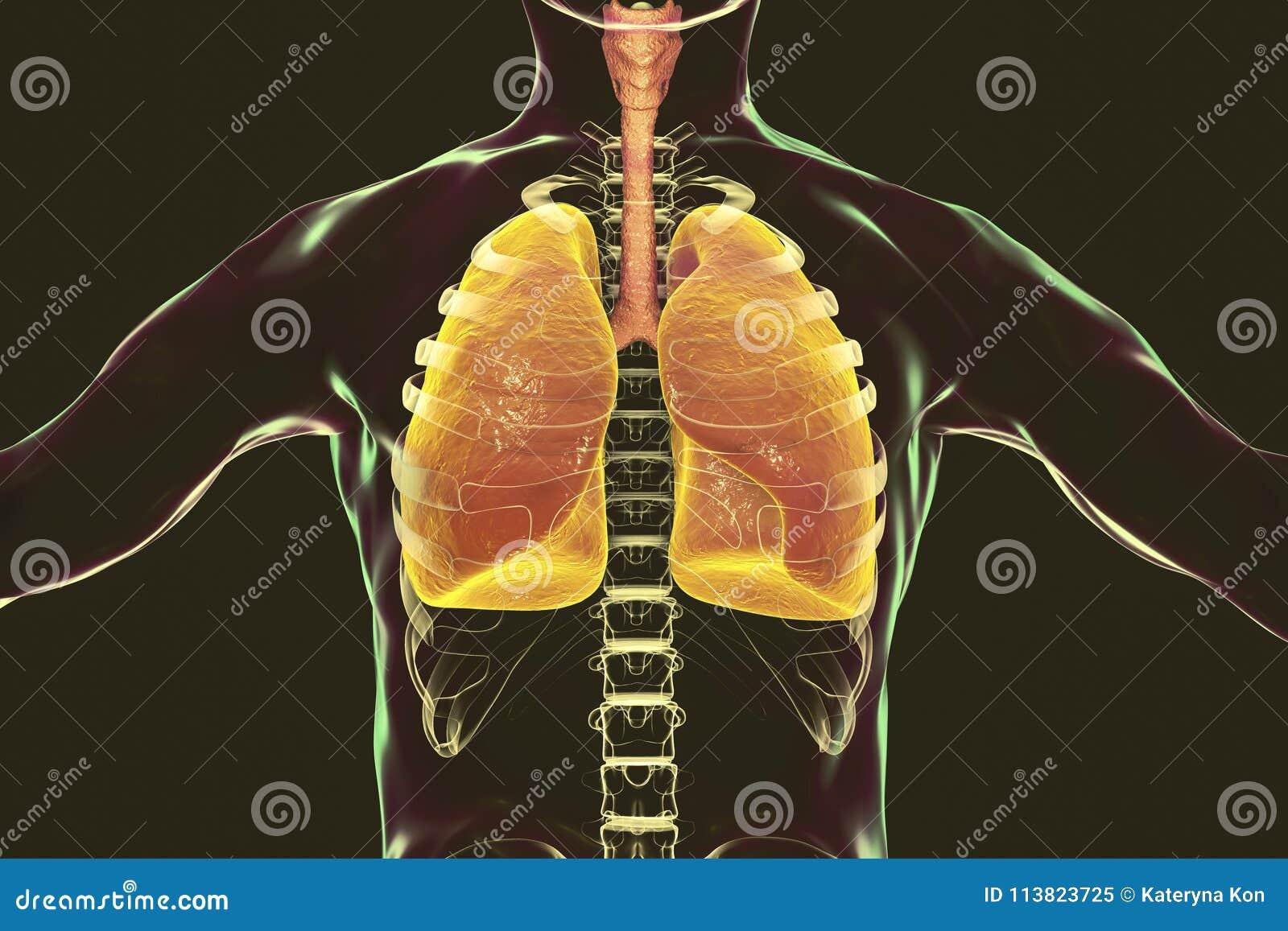 Silhueta humana do sistema respiratório, dos pulmões, da traqueia, da laringe e do corpo masculino com esqueleto