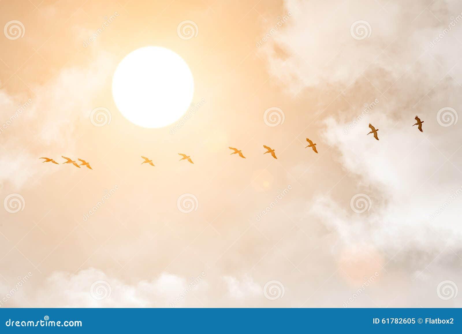 Silhuetas de grandes pelicanos brancos no por do sol