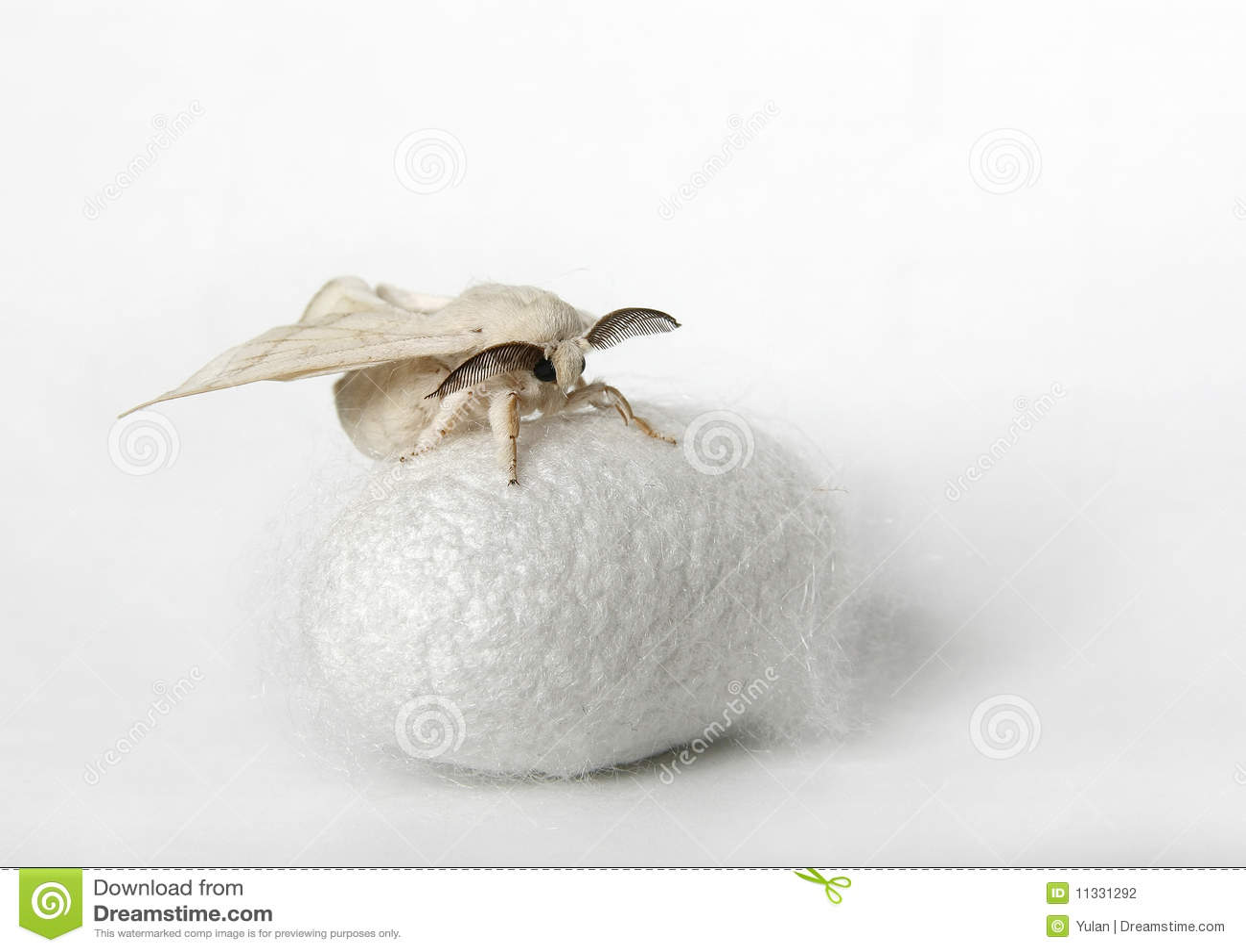 silk moth on silk cocoon stock photography image 11331292