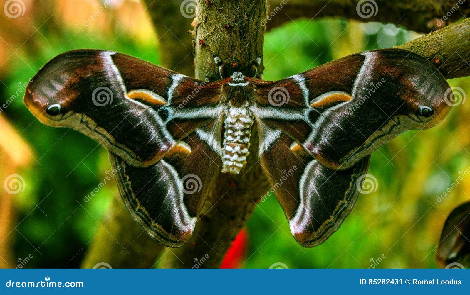 Silk ricini Samia бабочки