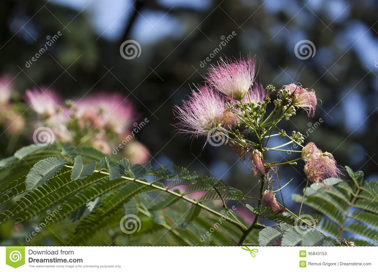 Silk Tree Flowers Stock Image Image Of Pink Natural 95843153