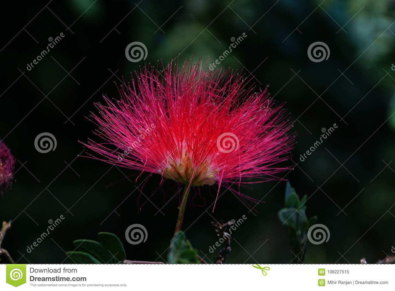 A close-up of Persian silk tree flower