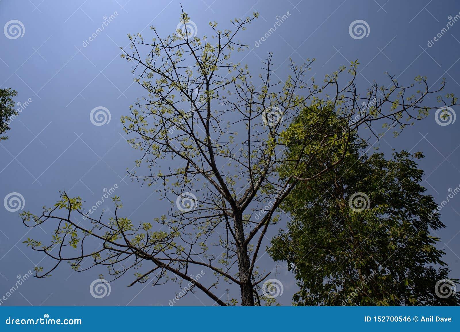 Silke-bomull för NATURgräsplanblad träd nära det Sangamner Ahmednagar området, Maharashtra