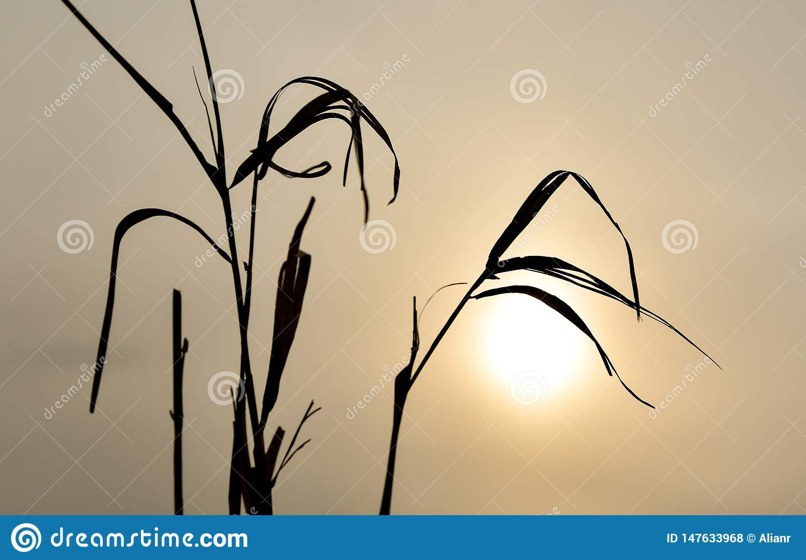 Sillouhette of the dry grass during the sunset on a cloudy foggy day