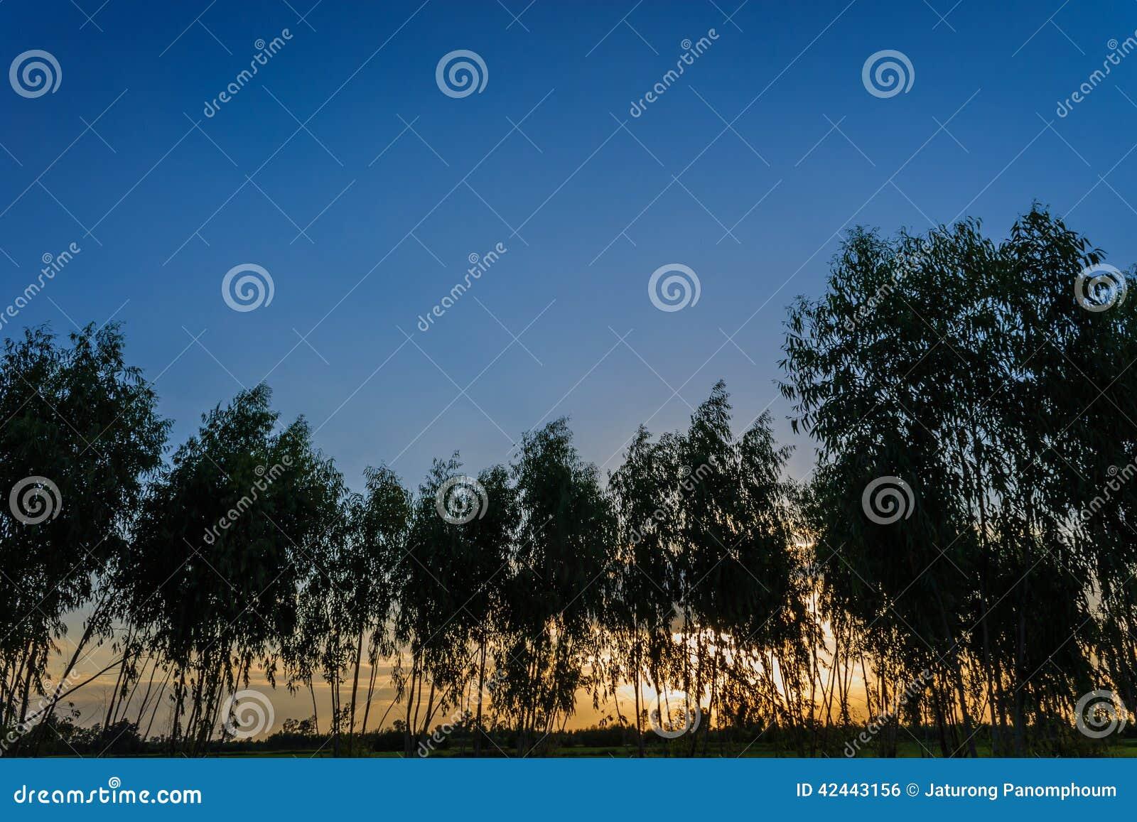 Silueta del eucalipto