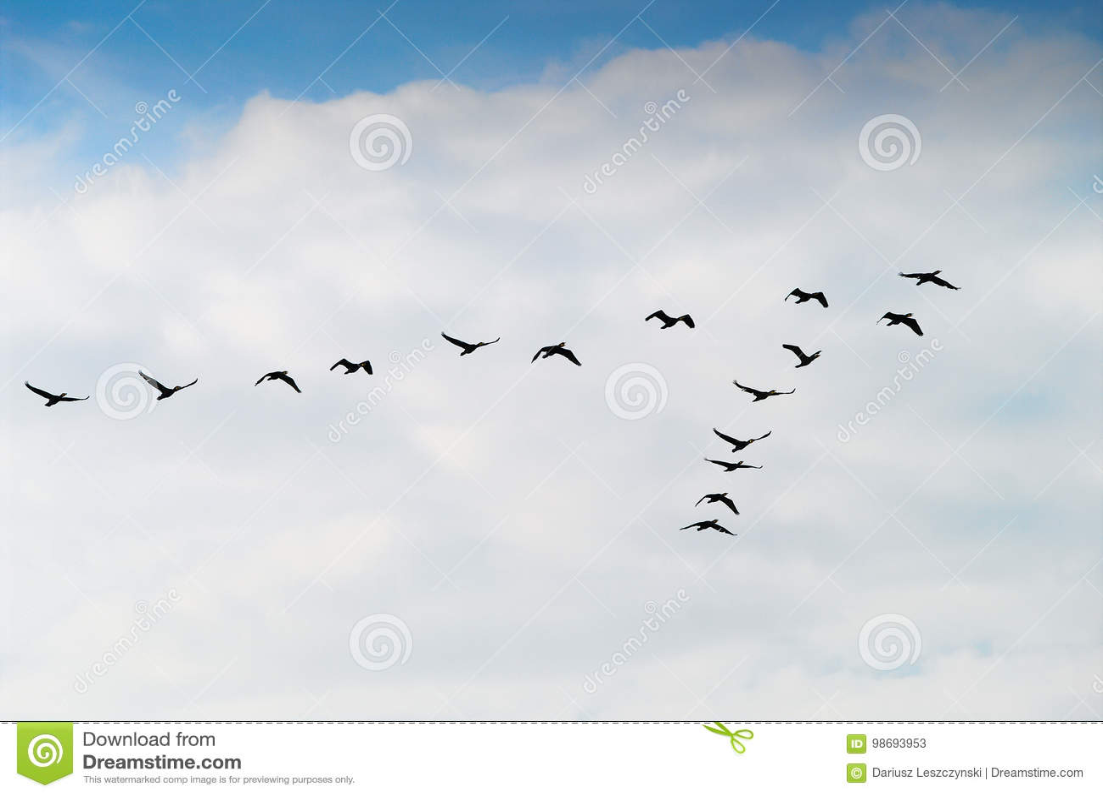 Silueta del grupo del carbón del Phalacrocorax de los cormoranes que vuela arriba para arriba en una formación de V contra el cie