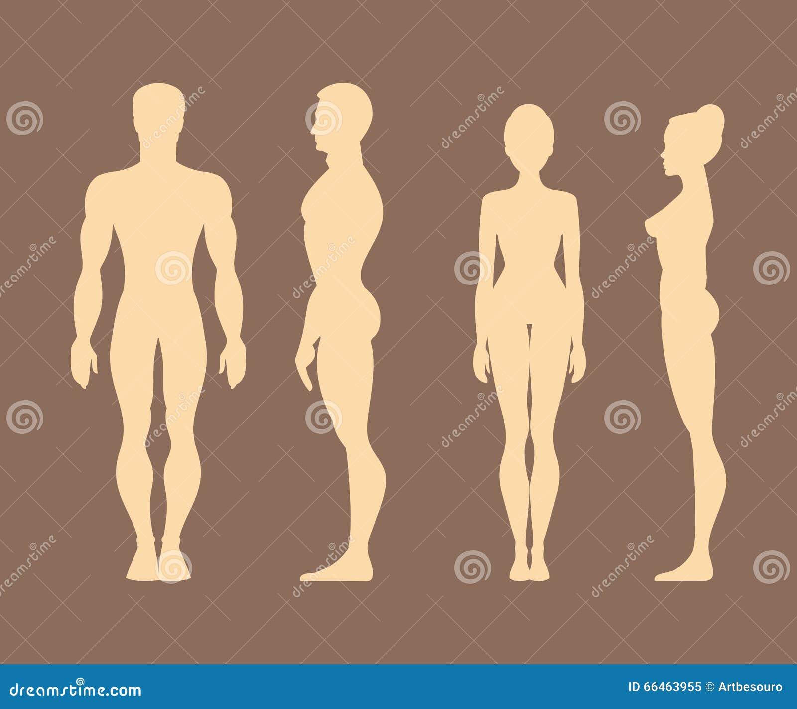 Siluetas De Hombres Y De Mujeres Anatomía Ilustración Del Vector ...
