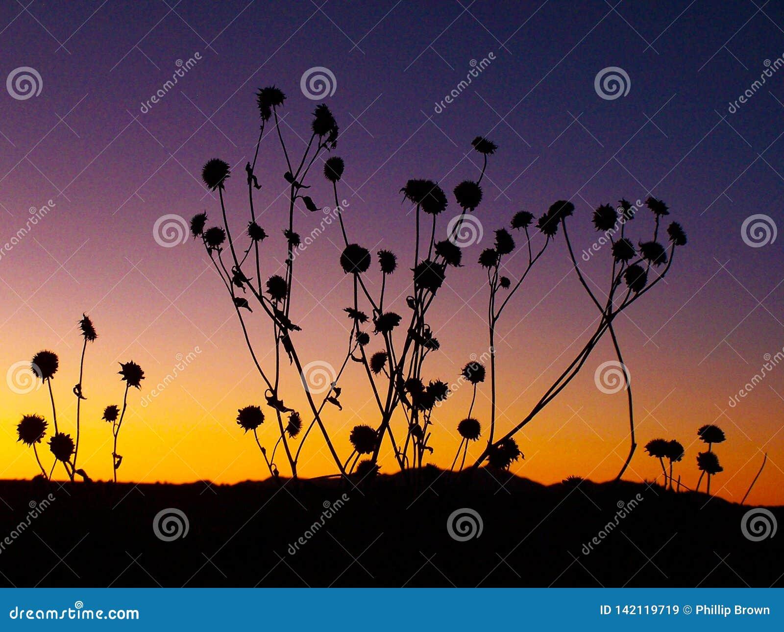 Siluetas del girasol en la puesta del sol del sudoeste