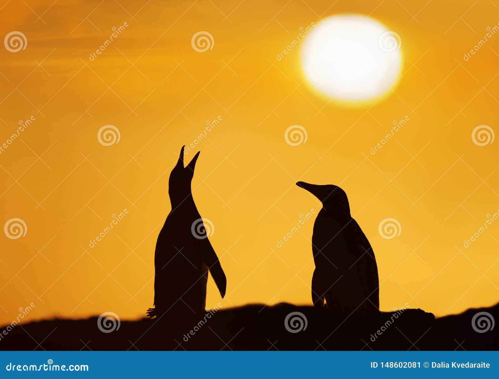Siluetta dei pinguini di Gentoo al tramonto