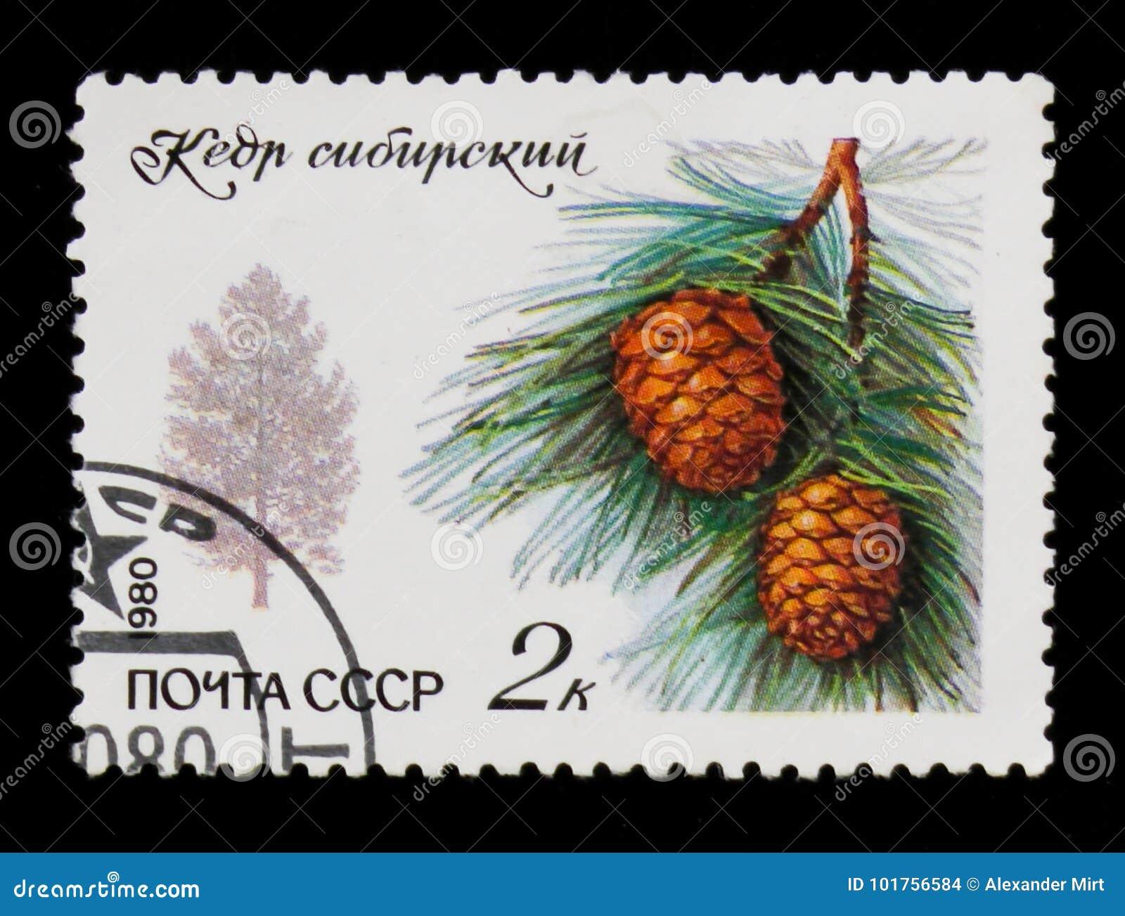 Siluetta del pino e del ramo siberiani con gli aghi ed il cono, circa 1980