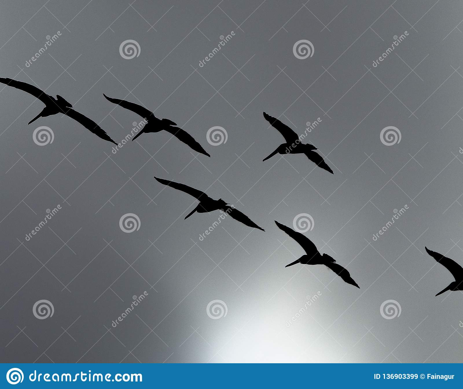 Siluetta di uno stormo dei pellicani marroni che sorvolano il cielo tempestoso grigio