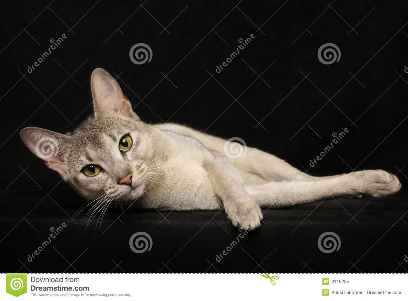 Silver Abyssinian female on black background, looking into camera. Usual Abyssinian Kittens