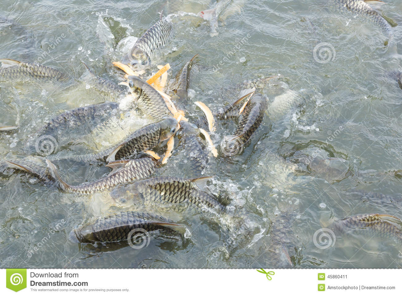 silver fish pond dating Their wild ancestor was silver-grey it was at one time the most common fish eaten in this began in earnest in 1163 in the goldfish pond at te shou palace in.