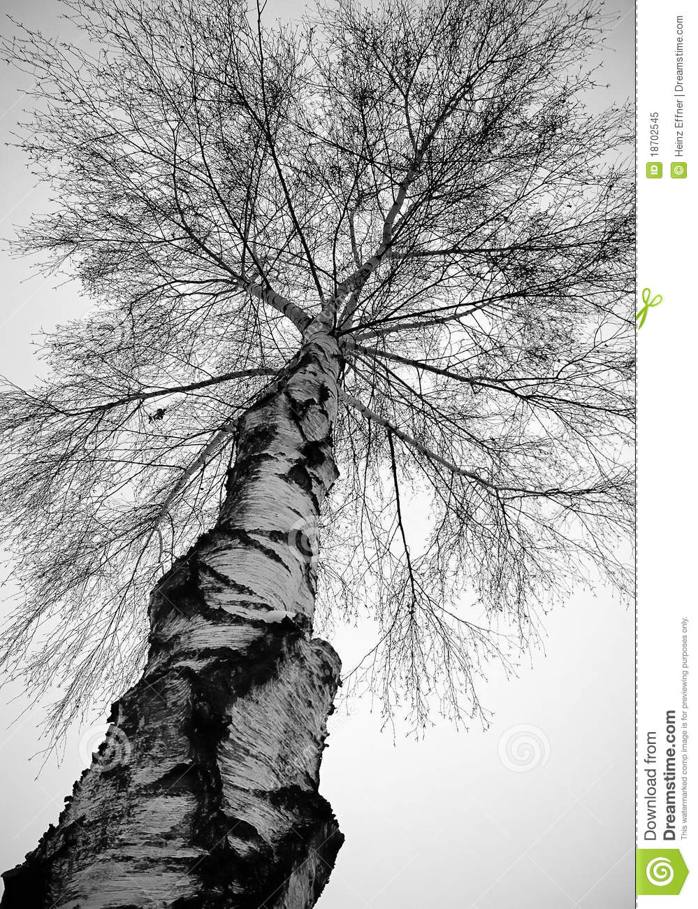 Birch Tree Winter Stock Photos Images Pictures
