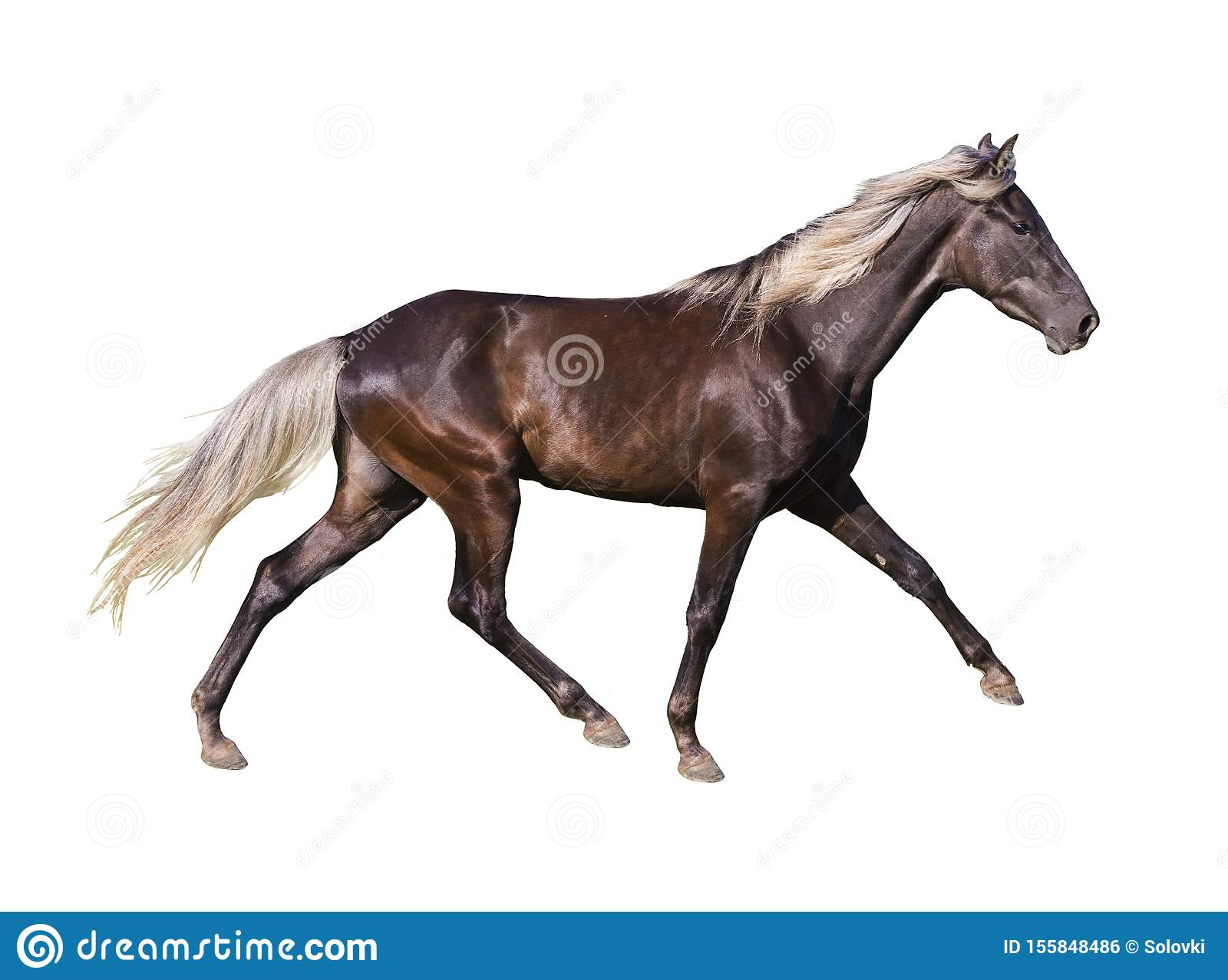 Silver Black Horse Breed Rocky Mountain Stock Photo Image Of Rocky Brown 155848486