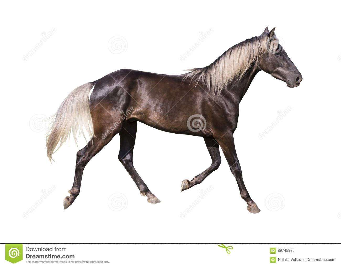 Silver Black Horse Breed Rocky Mountain On White Background Stock Image Image Of Mammal White 89745985