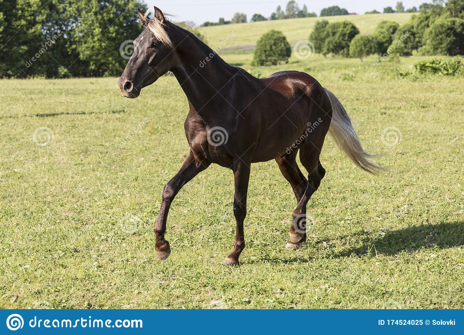 A Silver Black Horse Breed Rocky Mountains Horse Gallops Across A Field Stock Image Image Of Gallops Field 174524025