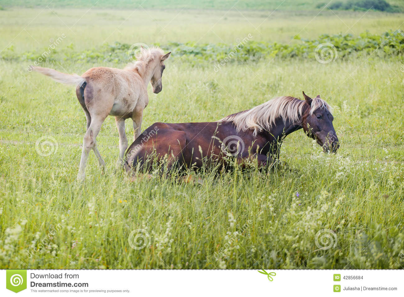 Silver Black Horse With Her Foal Stock Photo Image Of Area Stallion 42856684