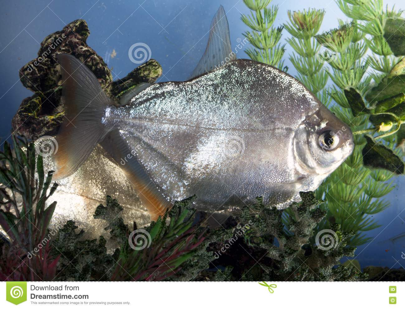 Silver dollar fish stock image image 18803851 for Silver dollar fish for sale